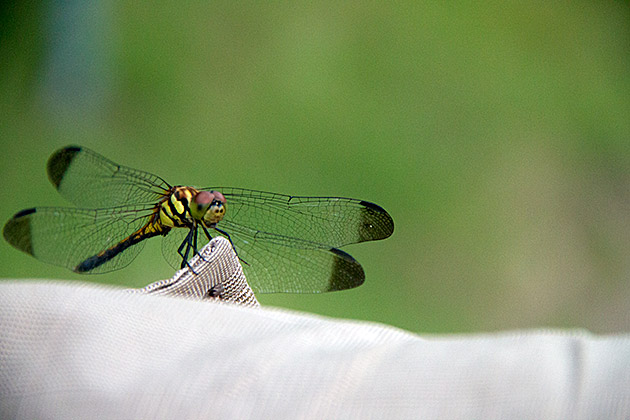 Korean-Dragon-Fly