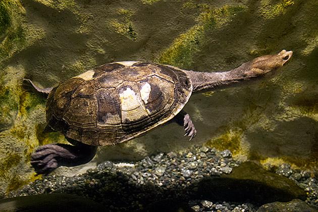 Snake Turtle