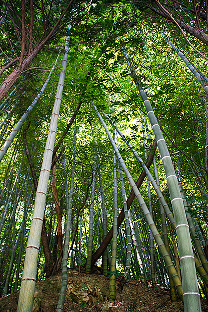 Korean Bamboo Forrest